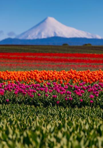Fotos  Los Hermosos Paisajes De Tulipanes En Puyehue