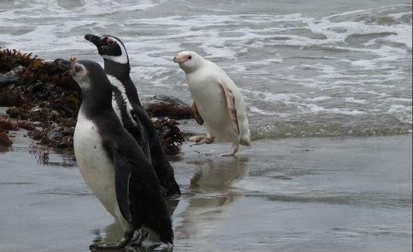 Pingüino completamente blanco llama la atención en Chiloé   Tele 13