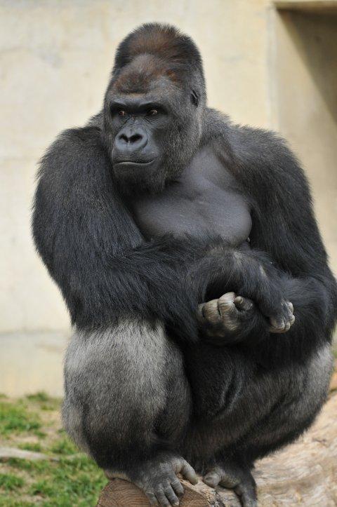 fd706924023d El gorila más lindo del mundo saca suspiros en Japón