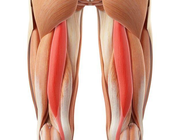 El músculo semitendinoso es uno de los tres que conforma el tendón de la corva.