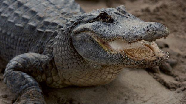 Caimanes como este son comunes en Florida.