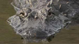 Se estima que Florida tiene más de un millón de caimanes.
