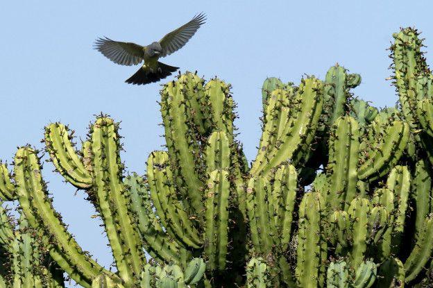 El millonario negocio del tr fico ilegal del cactus m s for Cactaceas de chile