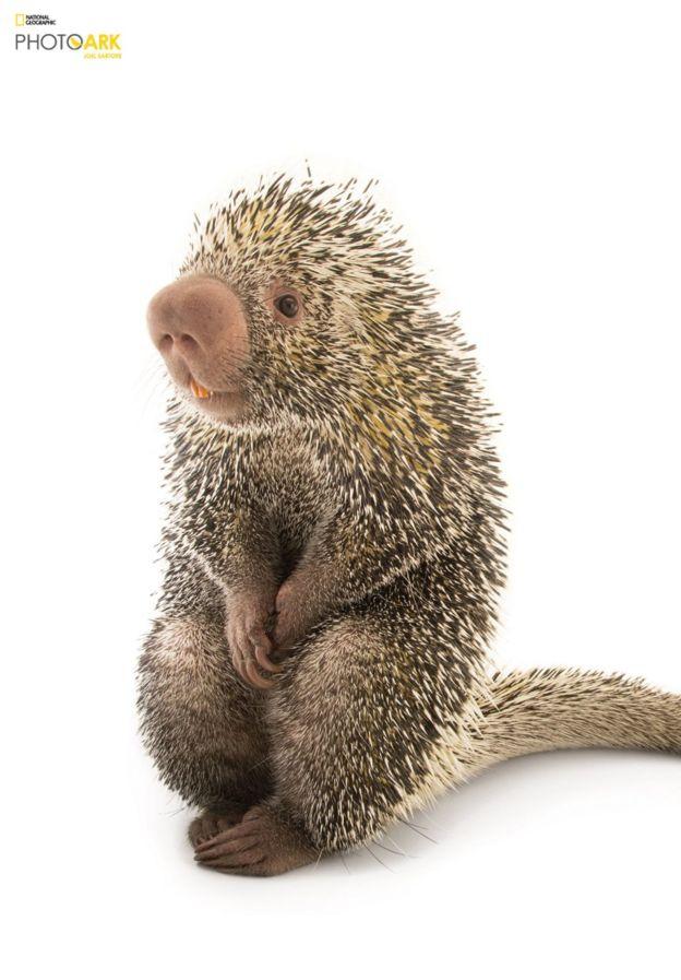 El puercoespín arborícola es una especie de roedor que habita en los bosques, desde México hasta el norte de Argentina y Uruguay. Este ejemplar fue fotografiado en el Zoológico de Saint Louis, Missouri.