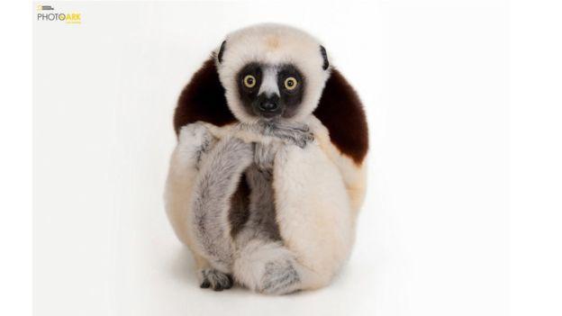 El retrato de este ejemplar de Sifaca, que habita en el Zoológico de Houston, Texas, es uno de los 6.000 que Sartore ha hecho hasta hoy.