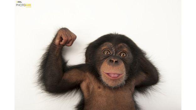 Este es un bebé chimpancé de tres meses que habita en el Parque Zoológico Lowry de Tampa, Florida, una de las 250 locaciones que Sartore ha visitado hasta ahora.
