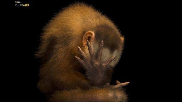 El capuchino de frente blanca es un primate endémico de Bolivia, Brasil, Colombia, Venezuela, Ecuador y Perú. Este ejemplar fue fotografiado en Panamá, en el Parque Municipal Summit de Gamboa.
