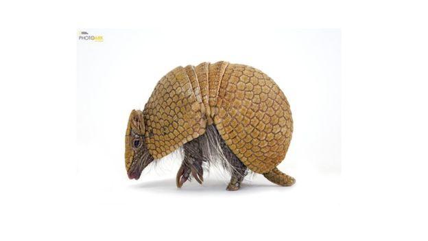 Este armadillo nativo de Argentina, Brasil, Bolivia y Paraguay es una de las dos especies de armadillo que puede enrollarse hasta formar una esfera. Es conocido comúnmente como Corechi, Mataco Bola, Quirquincho Bola o Tatú Bolita y fue fotografiado en el