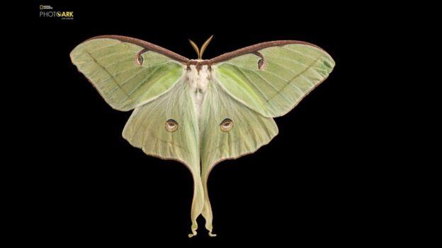 La mariposa nocturna conocida como actias luna es un tipo de mariposa luna que habita desde el norte de México hasta las grandes llanuras de Estados Unidos. Este retrato también fue tomado en el Zoológico infantil de Lincoln, Nebraska.