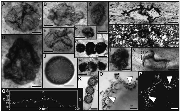 Bacteria oxidante