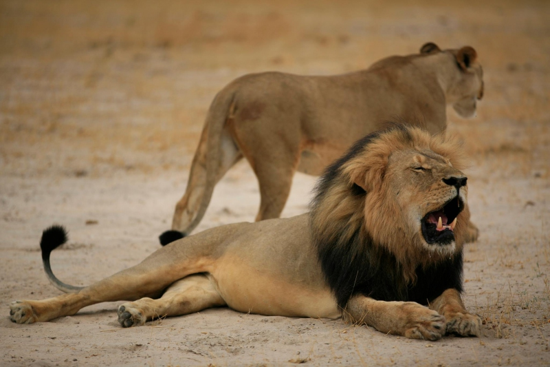 Xanda, hijo del león Cecil que fue cazado por un dentista, también