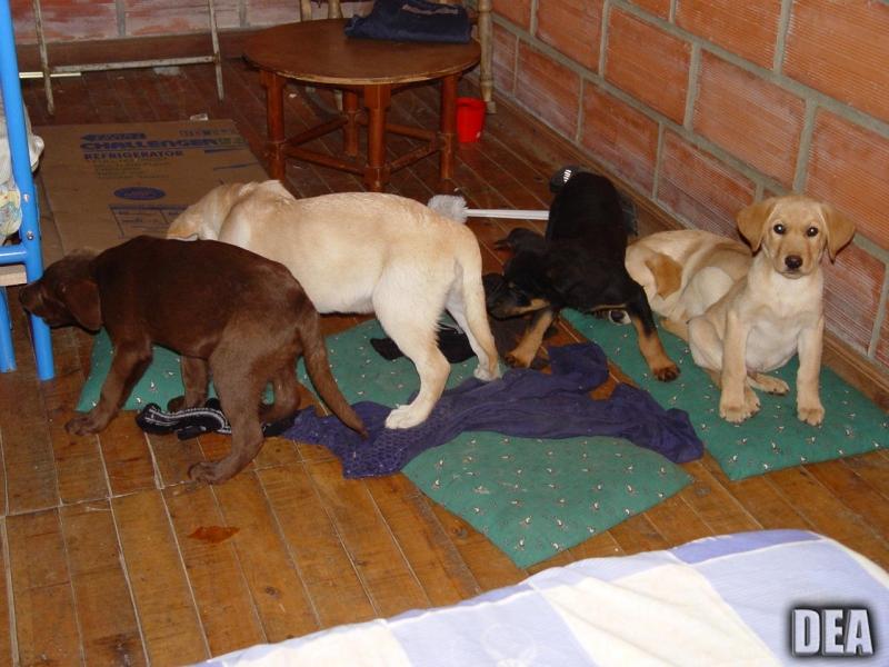 Algunos de los cachorros que Elorez utilizaba para transportar la droga