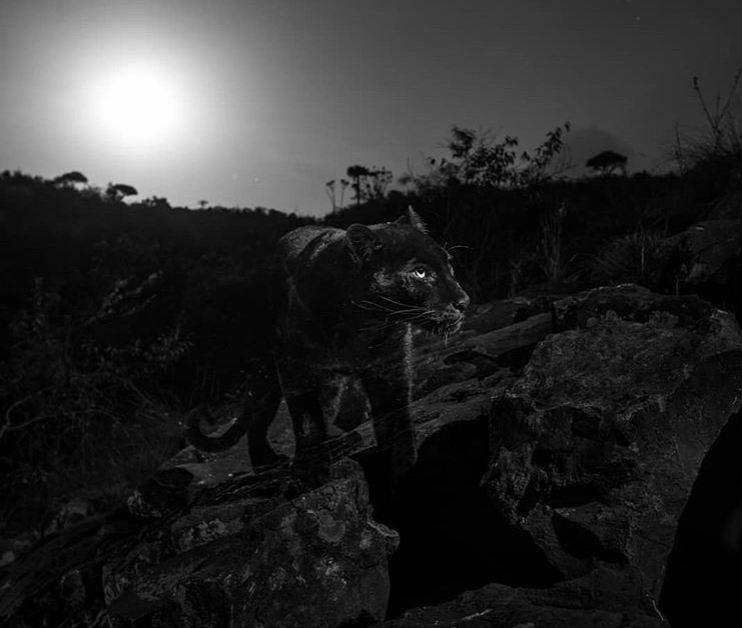 """Fotografían a la primera """"Pantera Negra"""" en más de 100 años"""