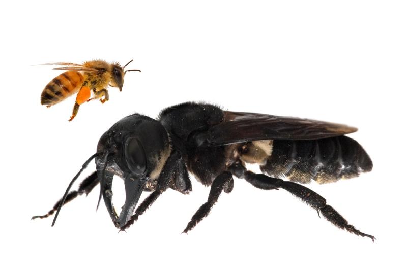 Redescubren a la abeja más grande del mundo