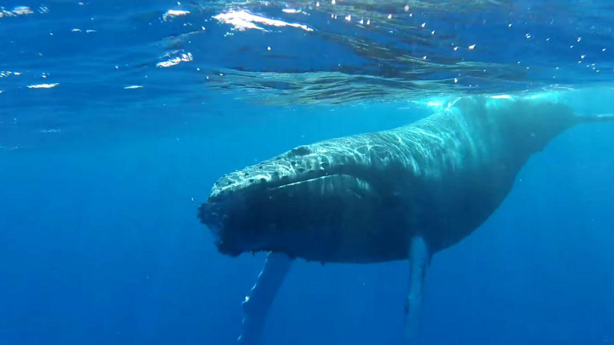 Japón retoma indagaciones sobre ballenas, pero sin cazarlas