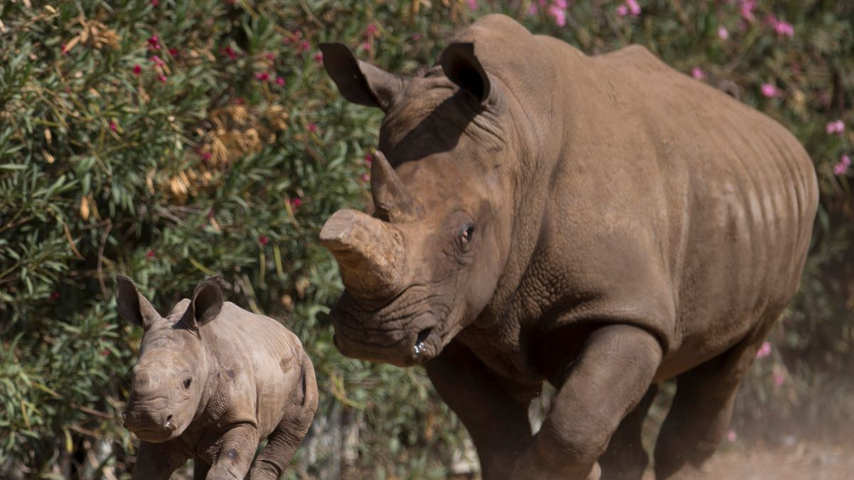 Gobierno de Namibia comienza a cortar los cuernos de rinocerontes para evitar su caza