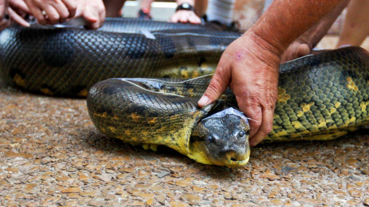 Cineasta será devorado vivo por una anaconda para programa de TV
