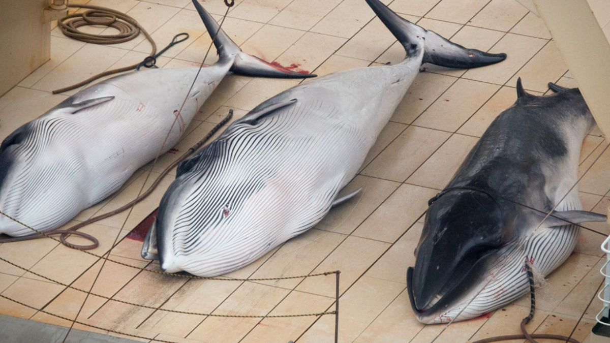 Japón confirma que volverá a cazar ballenas en la Antártica