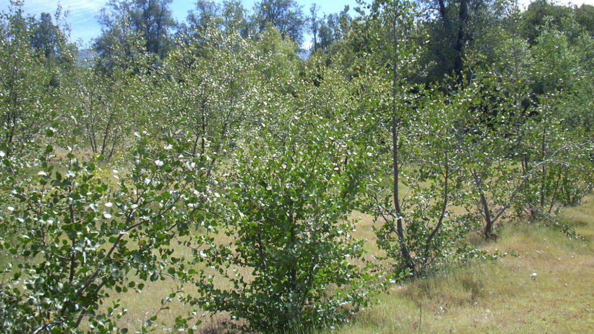 Quillay es el árbol más producido y requerido en la Región Metropolitana para reforestación