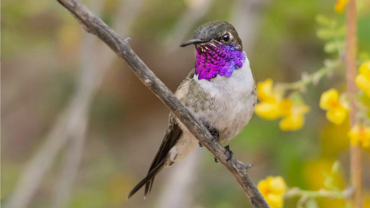 Proyecto ambiental busca rescatar al Picaflor de Arica, el ave más amenazada de Chile