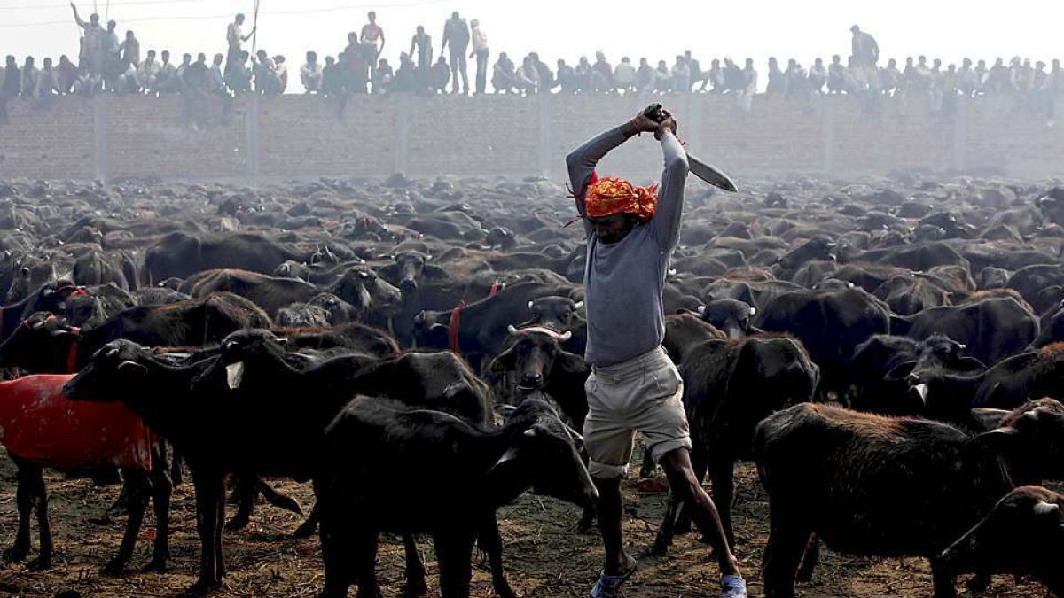 Críticas por fiesta religiosa india que sacrifica 500 mil animales