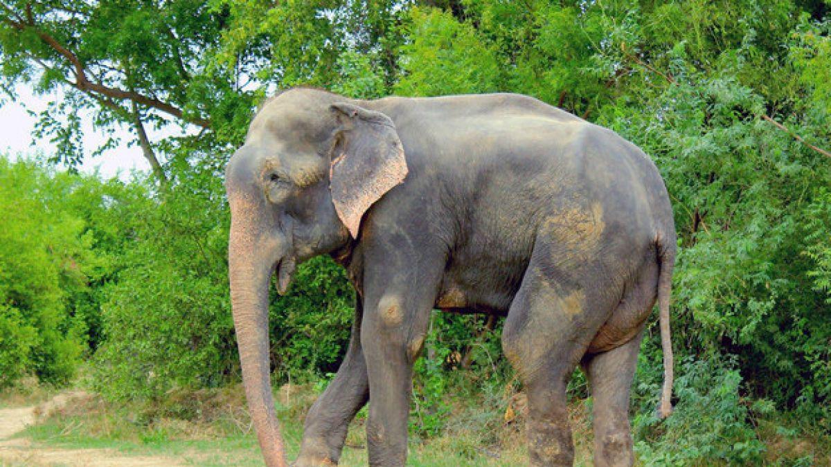 Tras 50 años de tortura, elefante es liberado de sus dueños