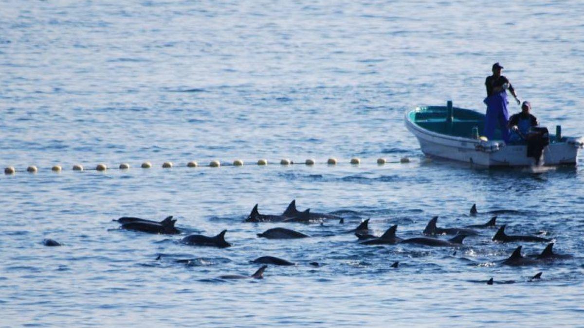 Pescadores de Taiji matan familia de 60 delfines