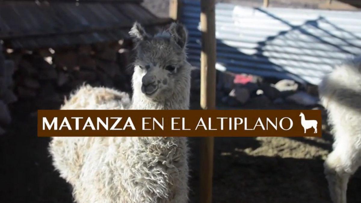 Denuncian cruel matanza clandestina de llamas en el Altiplano