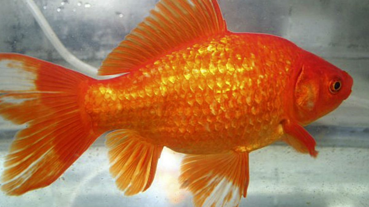 Británico paga cerca de 300 mil pesos para operar a su pez dorado