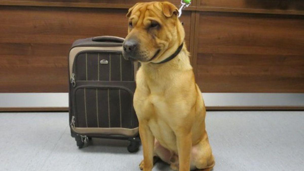 El cambio de vida de Kai, el perro que fue abandonado con su maleta en Escocia