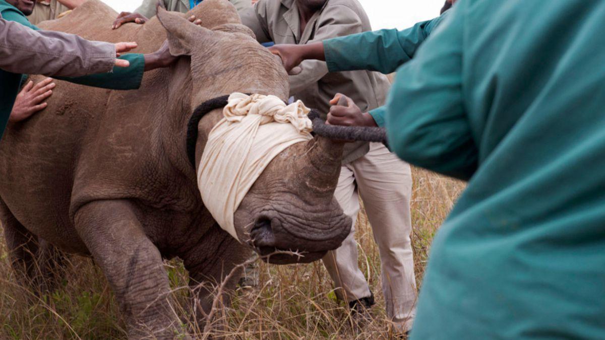 Cazadores furtivos mataron a 1.215 rinocerontes en Sudáfrica durante 2014
