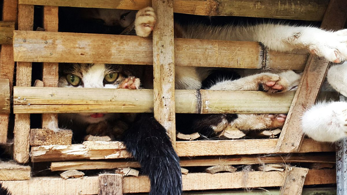 Miles de gatos fueron enterrados vivos en Vietnam