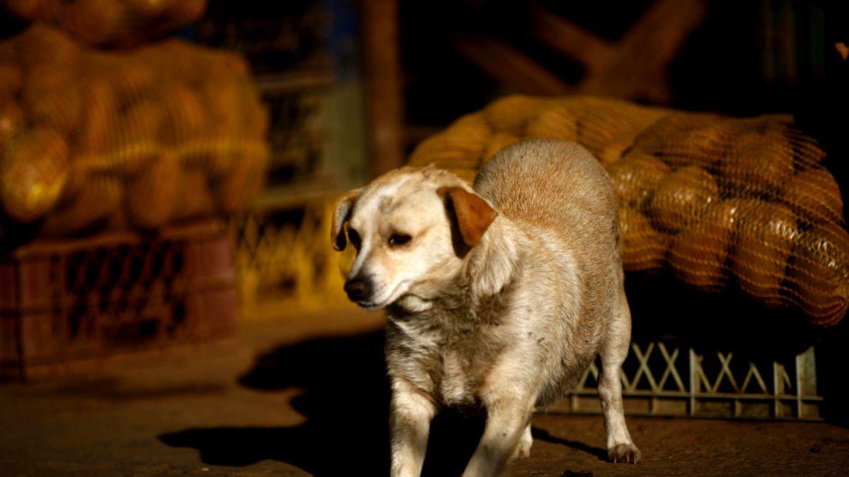 ¿Cuál es la diferencia entre perros asilvestrados y abandonados?