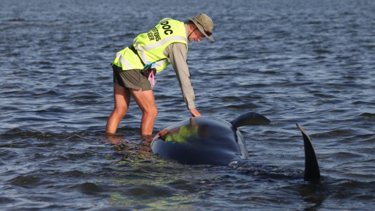 Nueva Zelanda: Devuelven al mar 150 ballenas varadas en Bahía Golden