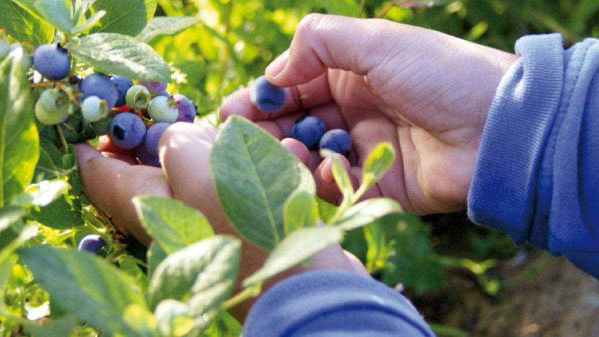Arándanos: Exportadores descartan responsabilidad por hepatitis en Australia