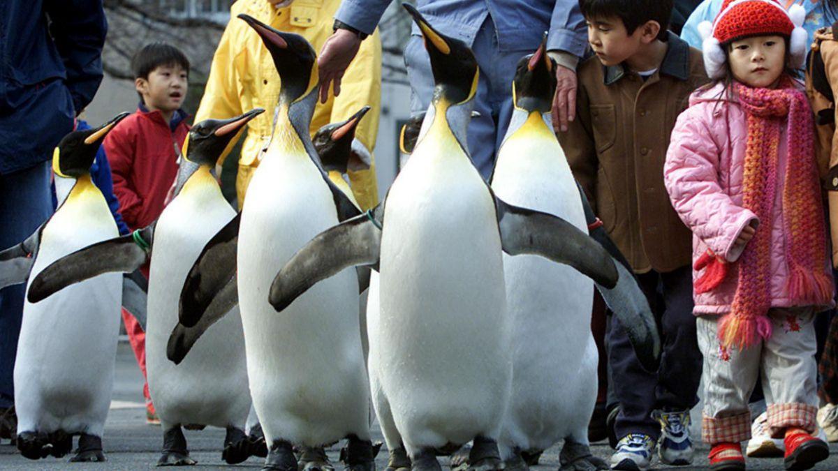 Investigación revela que pingüinos sólo pueden degustar sabores ácidos y salados