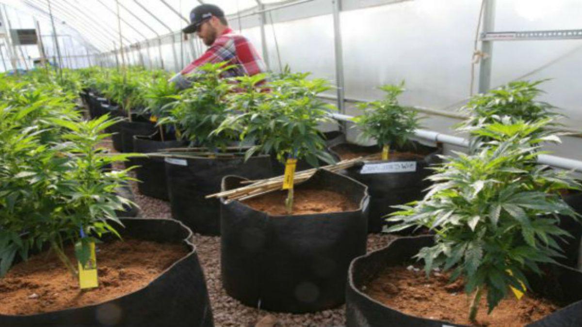 Estudio descubre por qué da hambre fumar marihuana