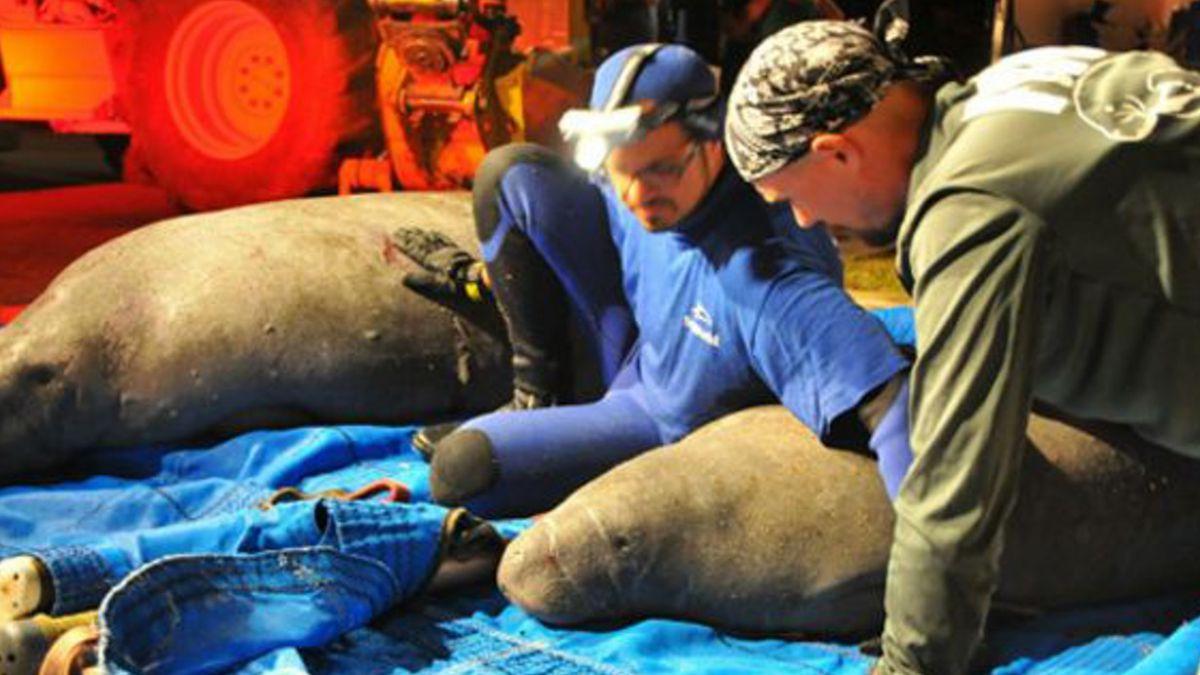 Rescatan a una docena de manatíes atascados en un desagüe de Florida