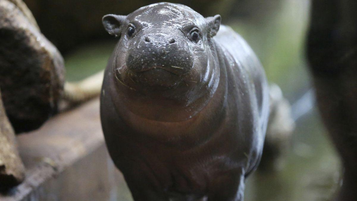 Fósil de una dentadura hallada en Kenia revela datos sobre origen del hipopótamo