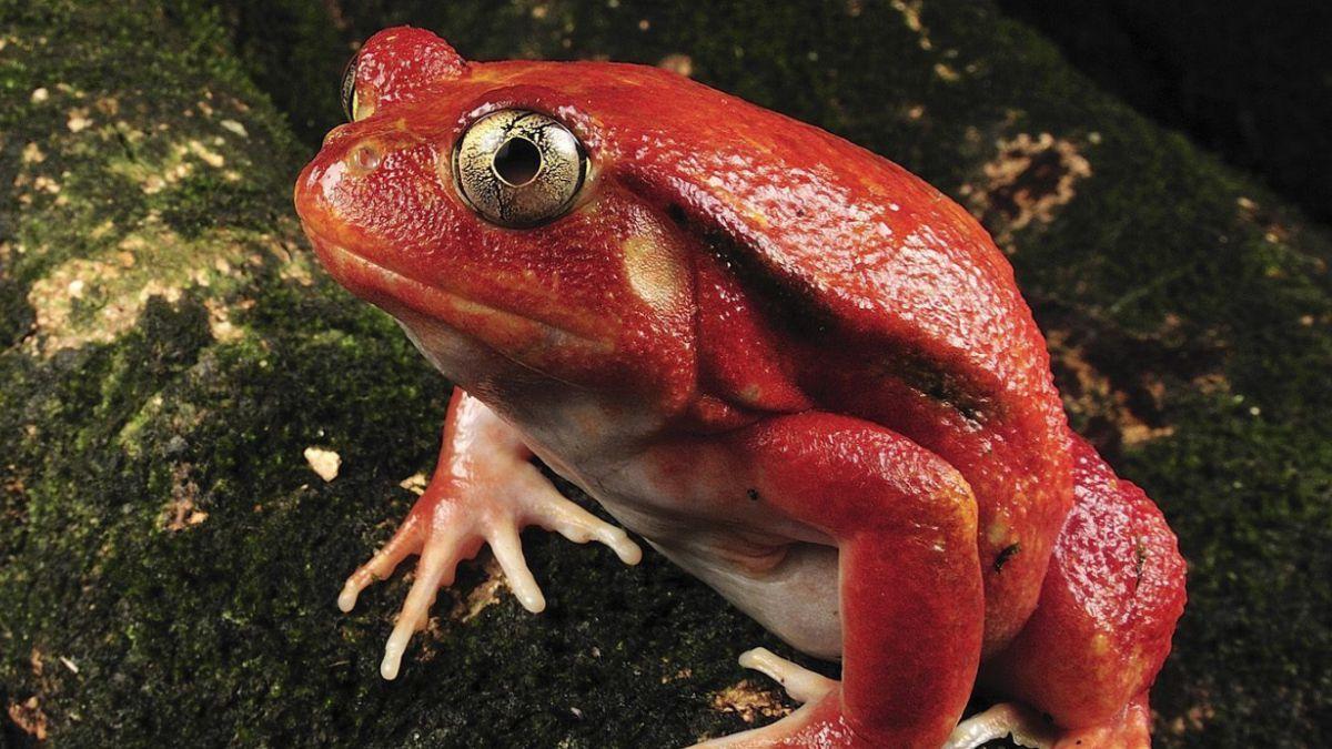 Hongo venenoso amenaza a ranas de Madagascar, según estudio