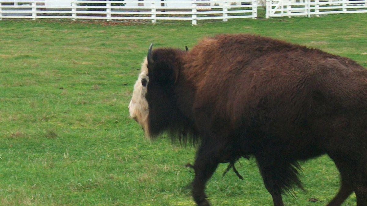 El beefalo, el híbrido de vaca y búfalo que amenaza al Gran Cañón