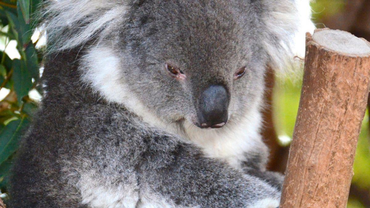 Australia: 700 koalas fueron sacrificados porque sufrían de hambre