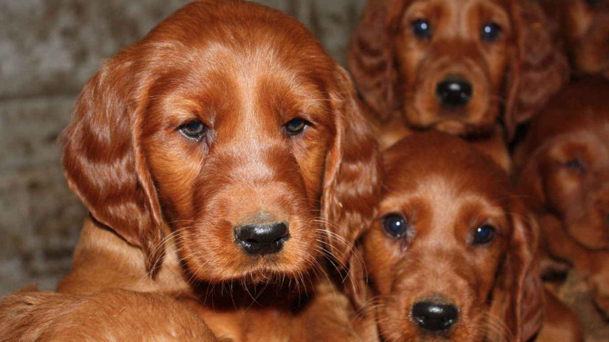 Investigan posible envenenamiento de perro en exposición canina de Reino Unido