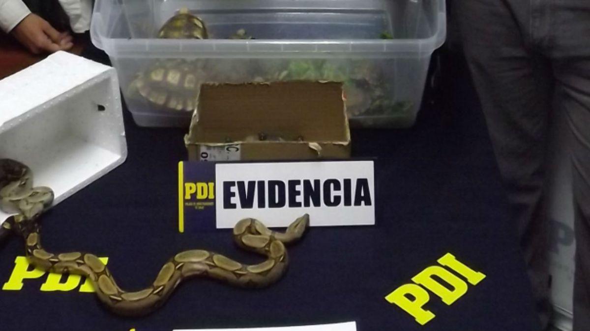 Hombre fue detenido por ingresar ilegalmente más de 50 especies exóticas en Arica