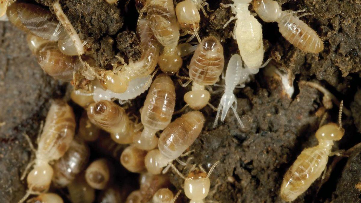 Cómo las termitas frenan el avance de los desiertos