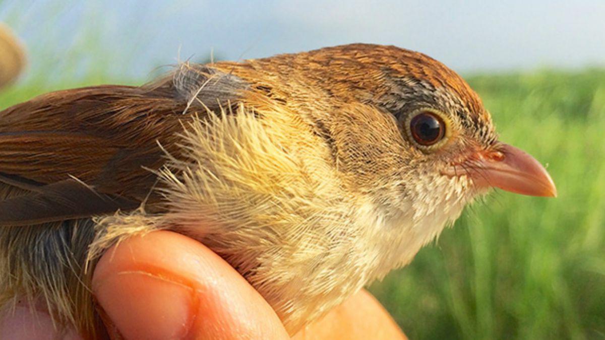 Pequeño pájaro que se creía extinto hace más de 70 años reaparece en Birmania