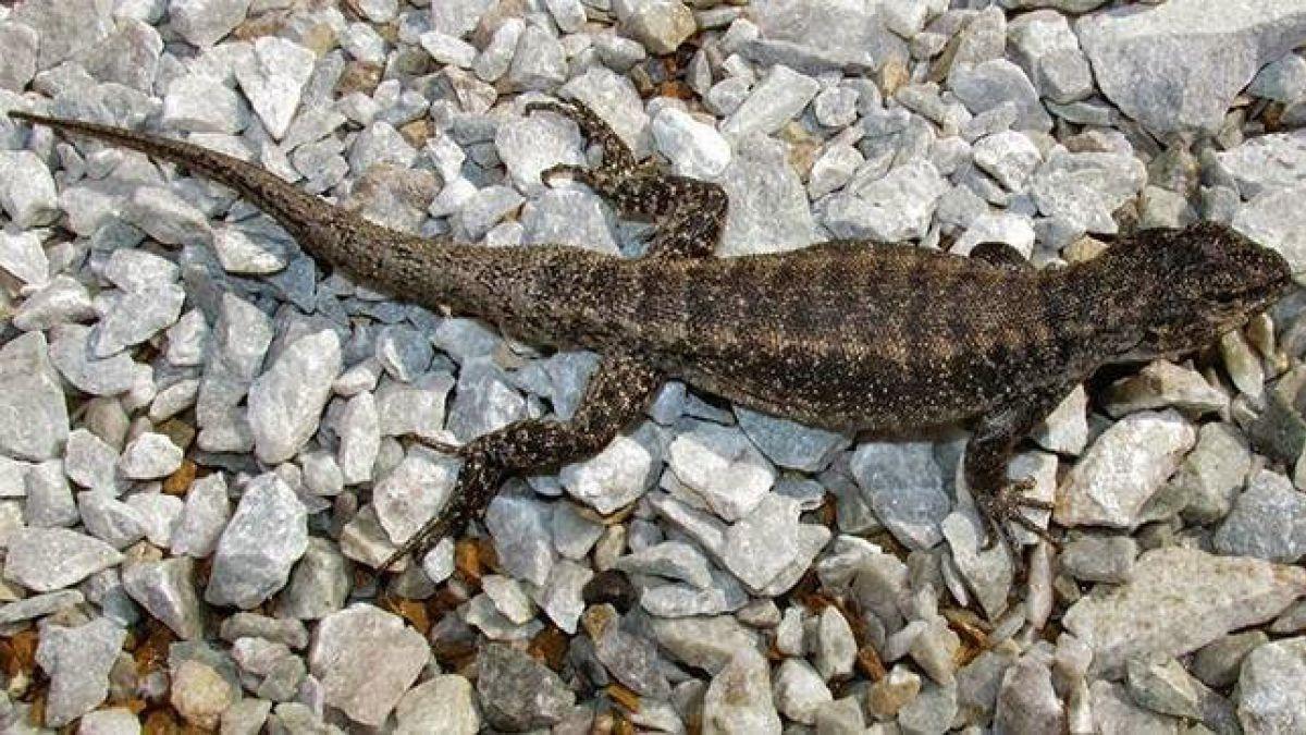 Científicos chilenos descubren dos nuevas especies de lagartijas en el país