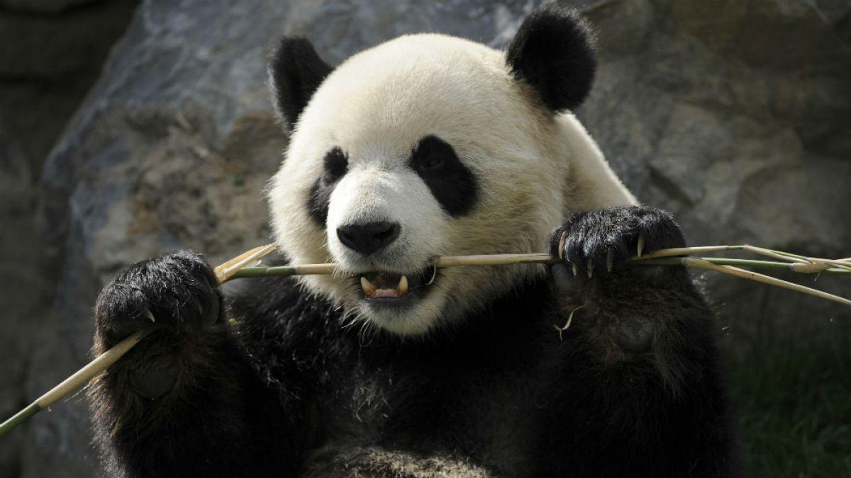 Los Osos Pandas No Deberían Comer Bambú, Según Nuevo