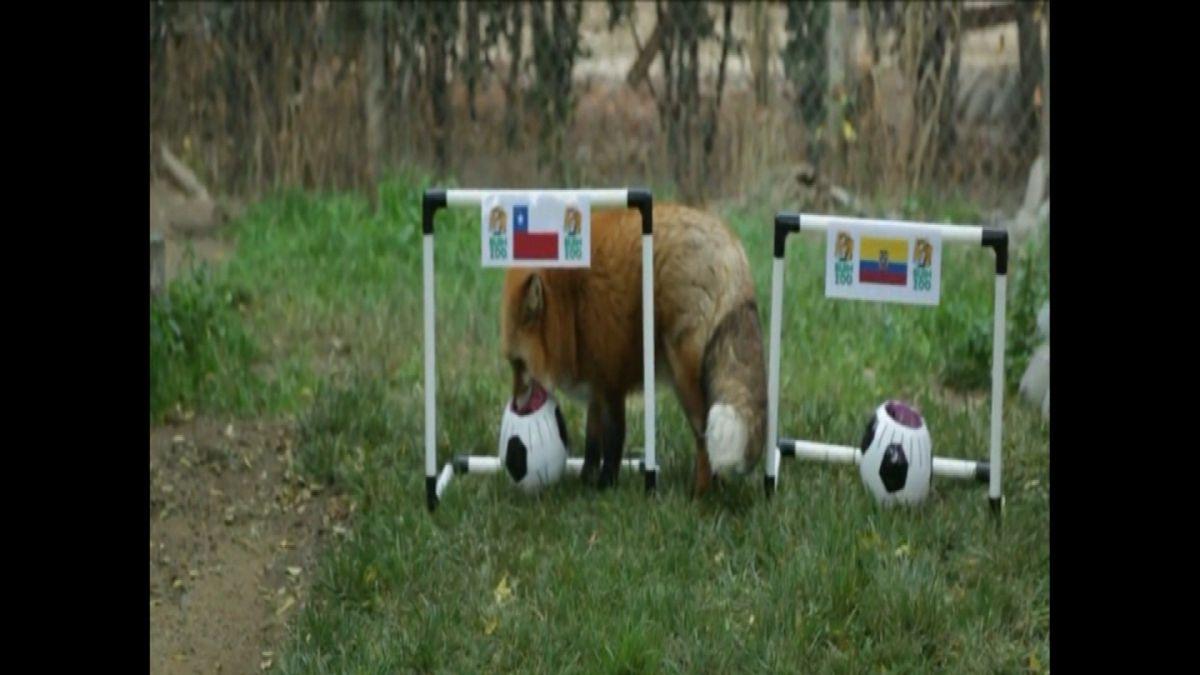[VIDEO] El Zincha del Buin Zoo que pronosticó al ganador del debut de Chile ante Ecuador