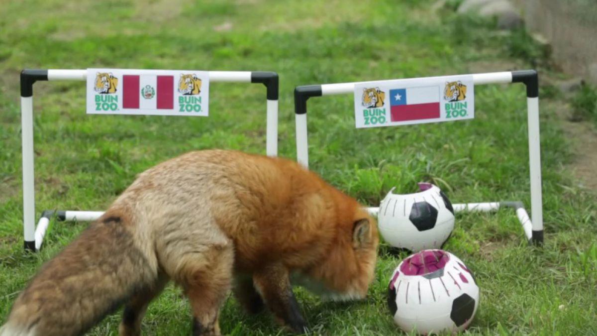 """¿Gana Perú? Así fue el pronóstico del zorro """"Zincha"""""""